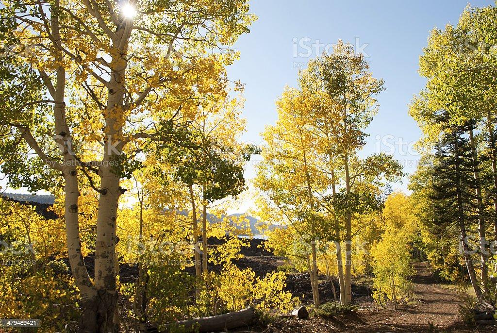 Backlit Yellow Aspen along Country Road Navajo Lake Utah stock photo