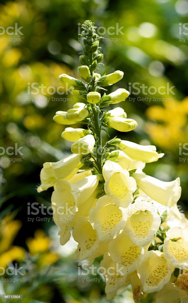 Backlit Yellow Foxglove Plants royalty-free stock photo