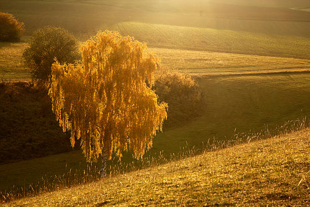 Backlit yellow tree close stock photo
