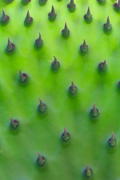 leuchtendes junge prickly pear leaf - kaktusfrucht stock-fotos und bilder