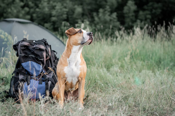Backpack hiking with a dog: staffordshire terrier sits next to a tourist backpack at a camping site. stock photo