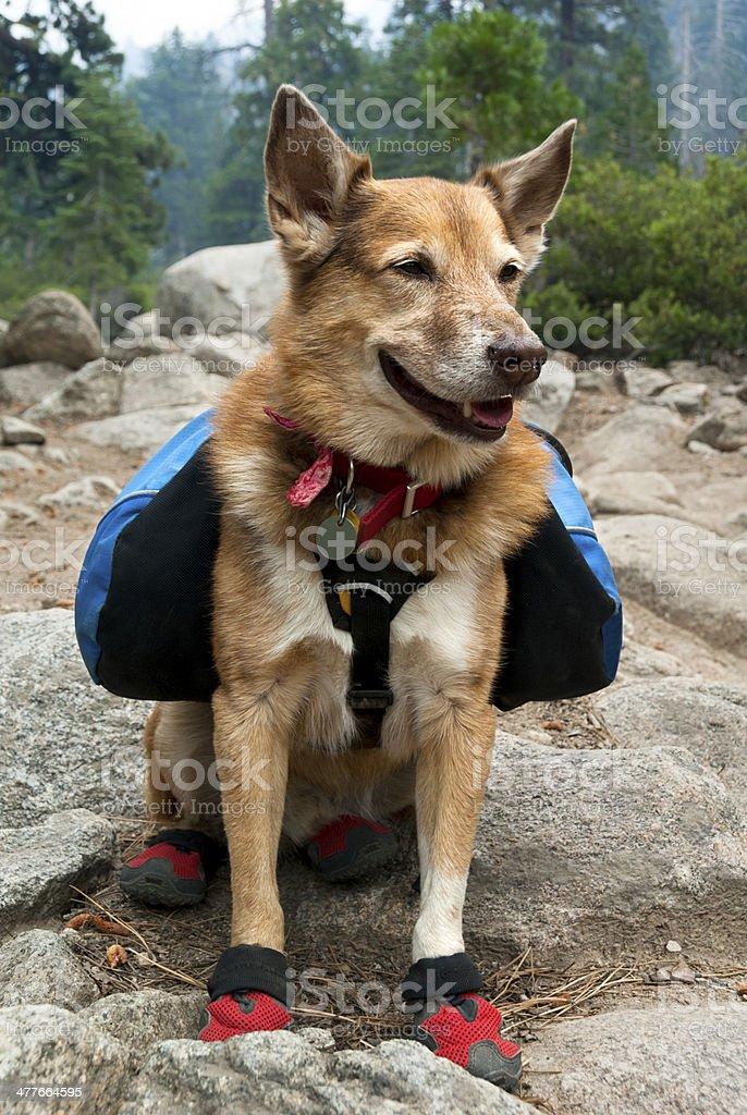 Backpacking Dog stock photo