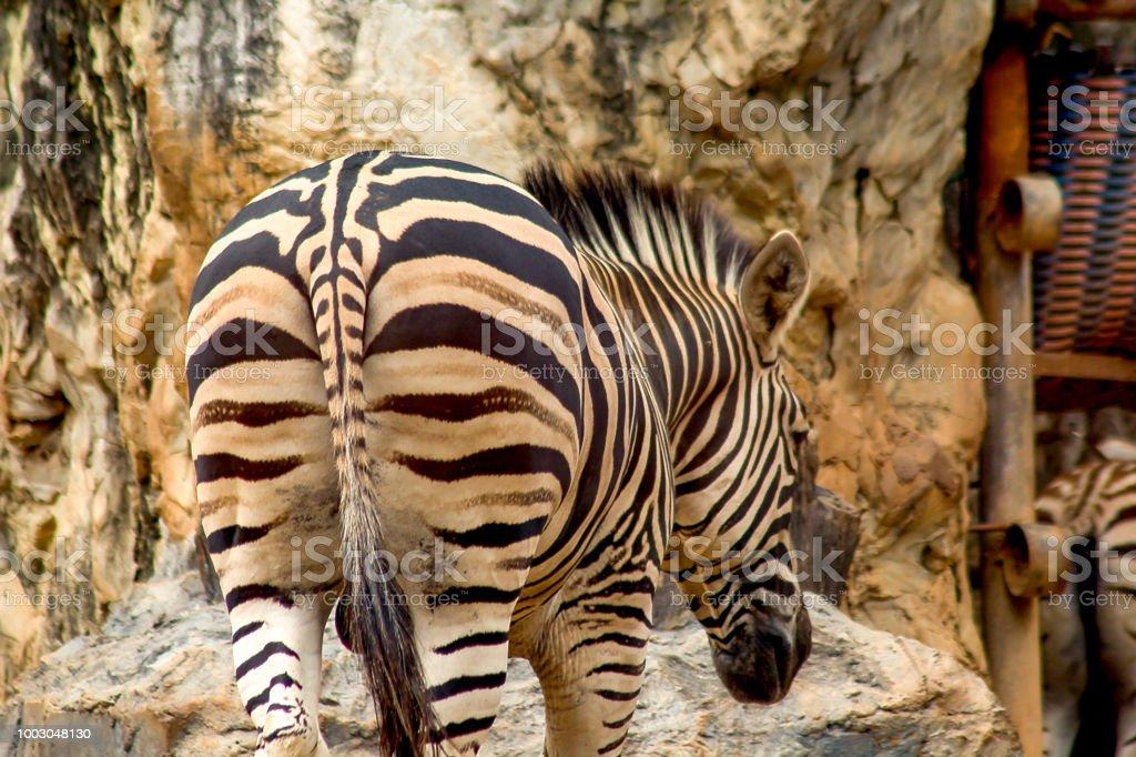 Backside of a zebra walking stock photo