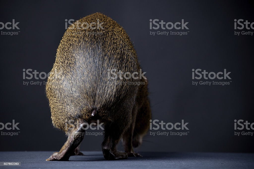 Backside of Central American agouti on black stock photo