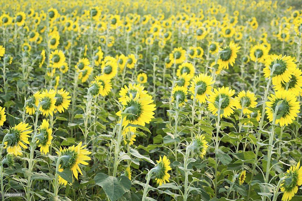 Backside of sunflower fields royalty-free stock photo