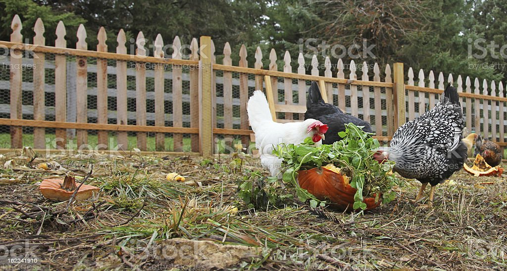 Backyard chickens eating leftover vegetables stock photo
