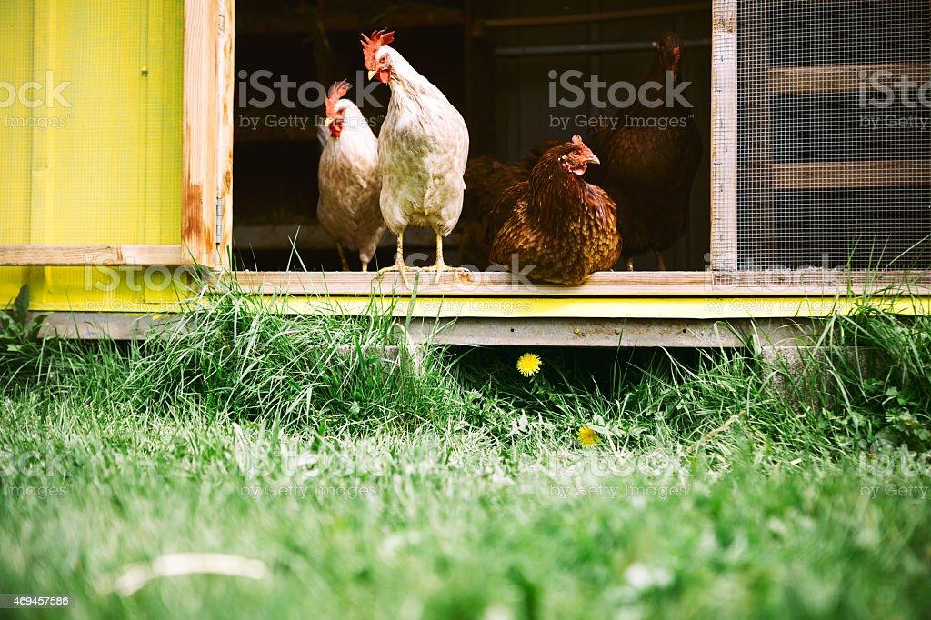 Backyard Chickens stock photo
