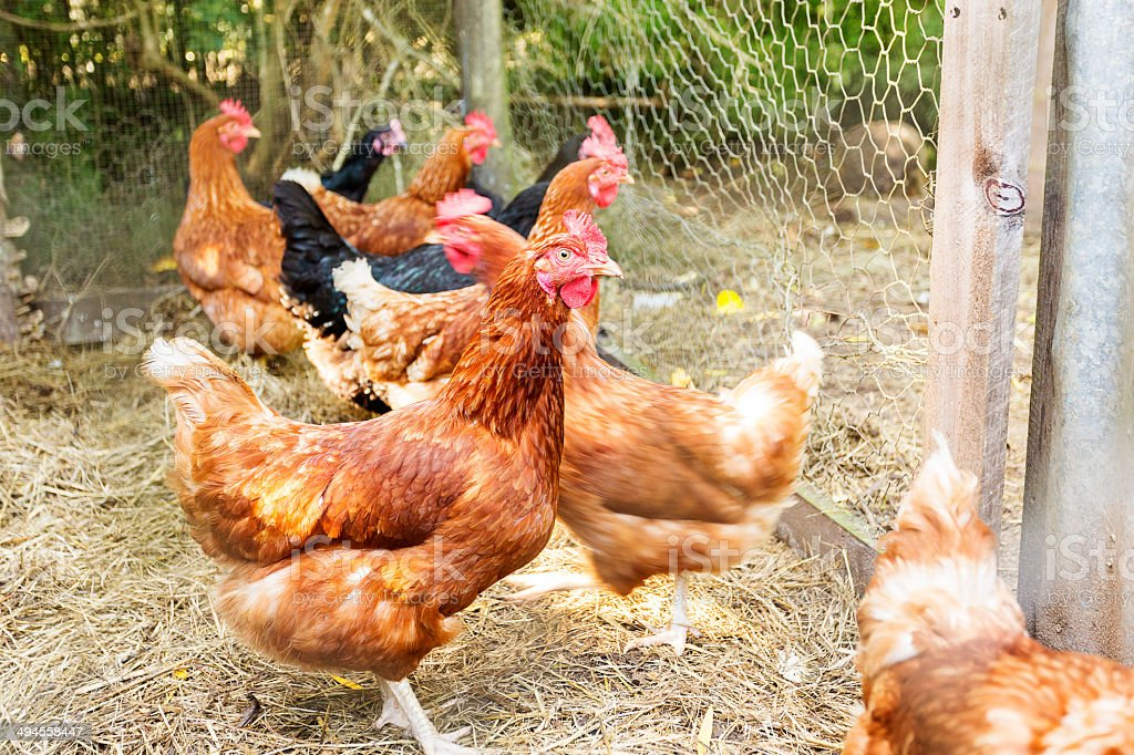 Backyard Chickens royalty-free stock photo