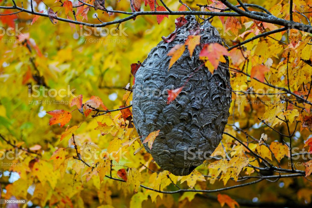 Backyard hornet's nest surrounded with fall colors. stock photo