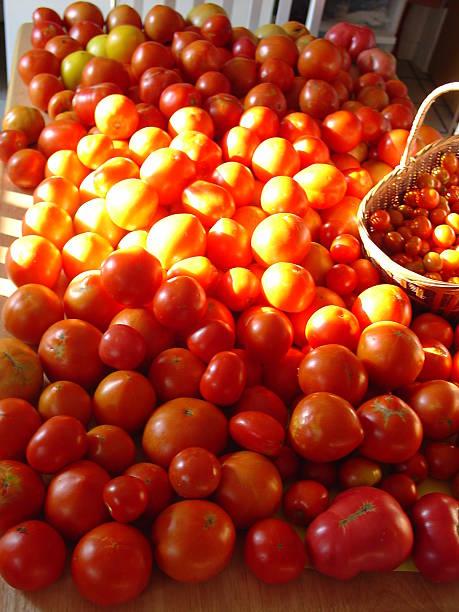Backyard Tomato Harvest stock photo