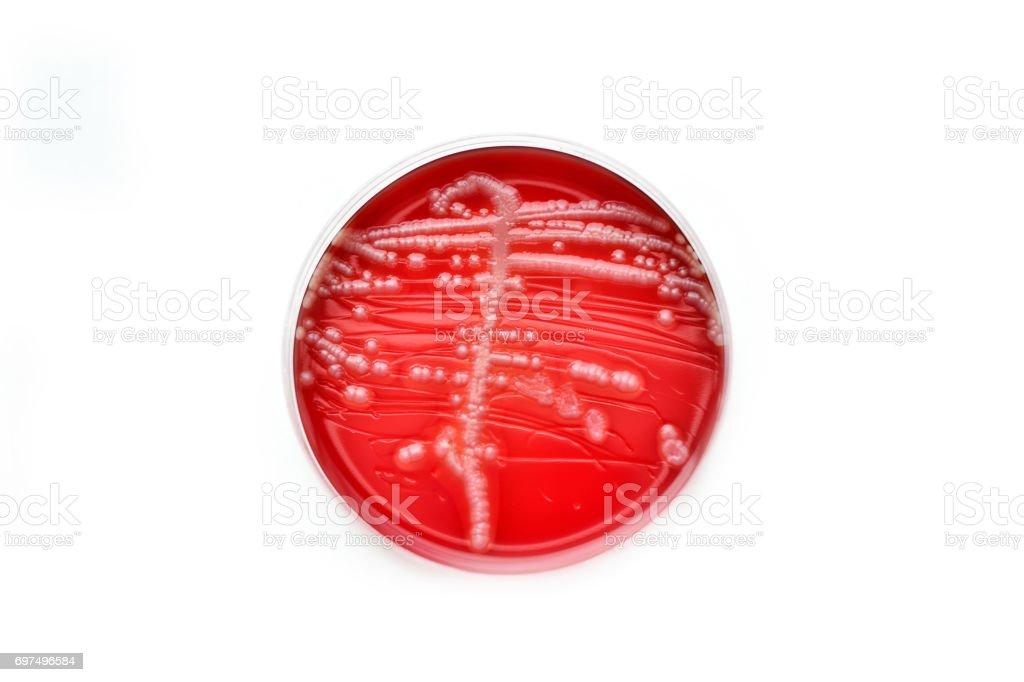 Bacteria colonies stock photo