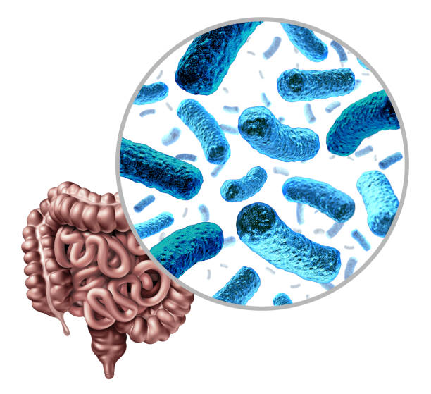 Bacteria Intestine Bacteria in the intestine as gut probiotic bacterium inside small intestine and digestive microflora inside the colon or bowel as a health symbol for microbiome as a 3D render isolated on a white background. lactobacillus stock pictures, royalty-free photos & images