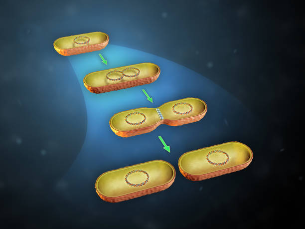Bacterial cell division Binary fission in bacteria. 3D illustration. prokaryote stock pictures, royalty-free photos & images