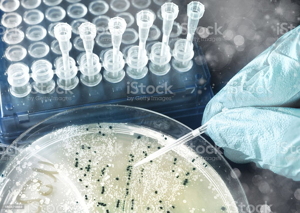 Bacterial colonies on agar plate royalty-free stock photo