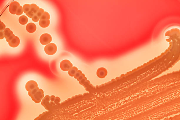 Bacterial colonies. Transilluminated diagnostic culture of yellowish Staphylococcus aureus colonies on blood agar plate. Techniques like transillumination or diaphanoscopy assist in control of hemolytic activity of bacterial cultures.The red colour represents the original blood agar. Almost white areas mark regions of total hemolysis. But white lines are zones of high hemolytic activity. antibiotic resistant stock pictures, royalty-free photos & images