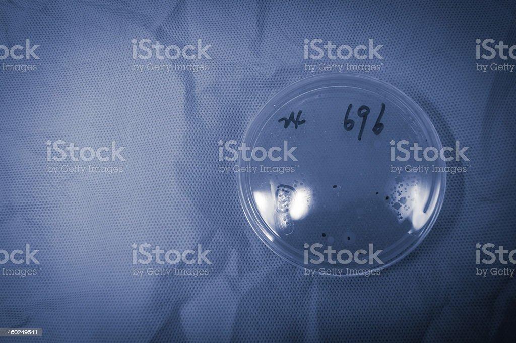 bacterial colony on petri dish stock photo