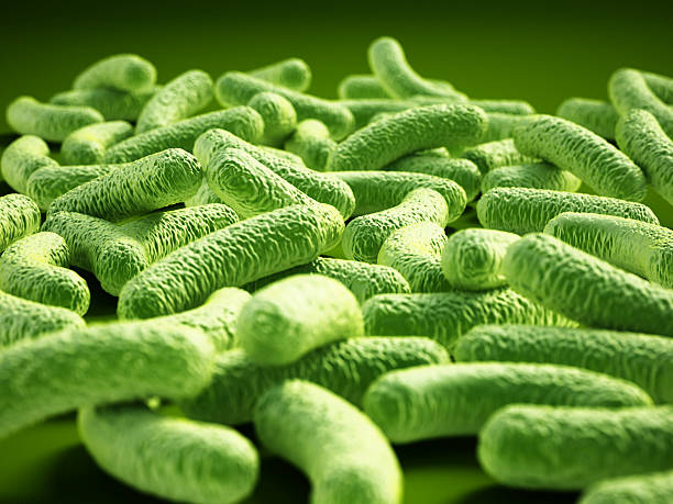 Bacterial infection. Rod-shaped Lactobacillus bacteria. - foto de stock