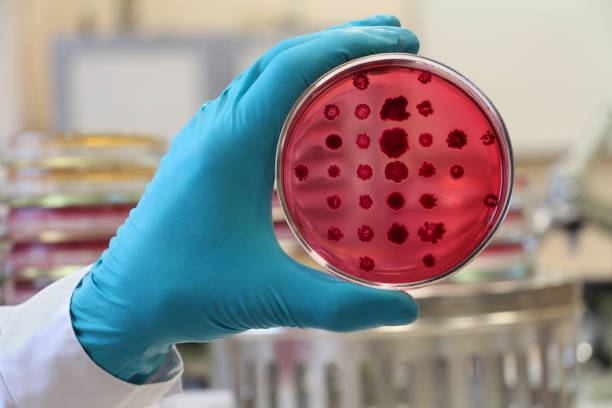 bacteriologist  holding a red petri dish on the laboratory background - micro organism stock photos and pictures