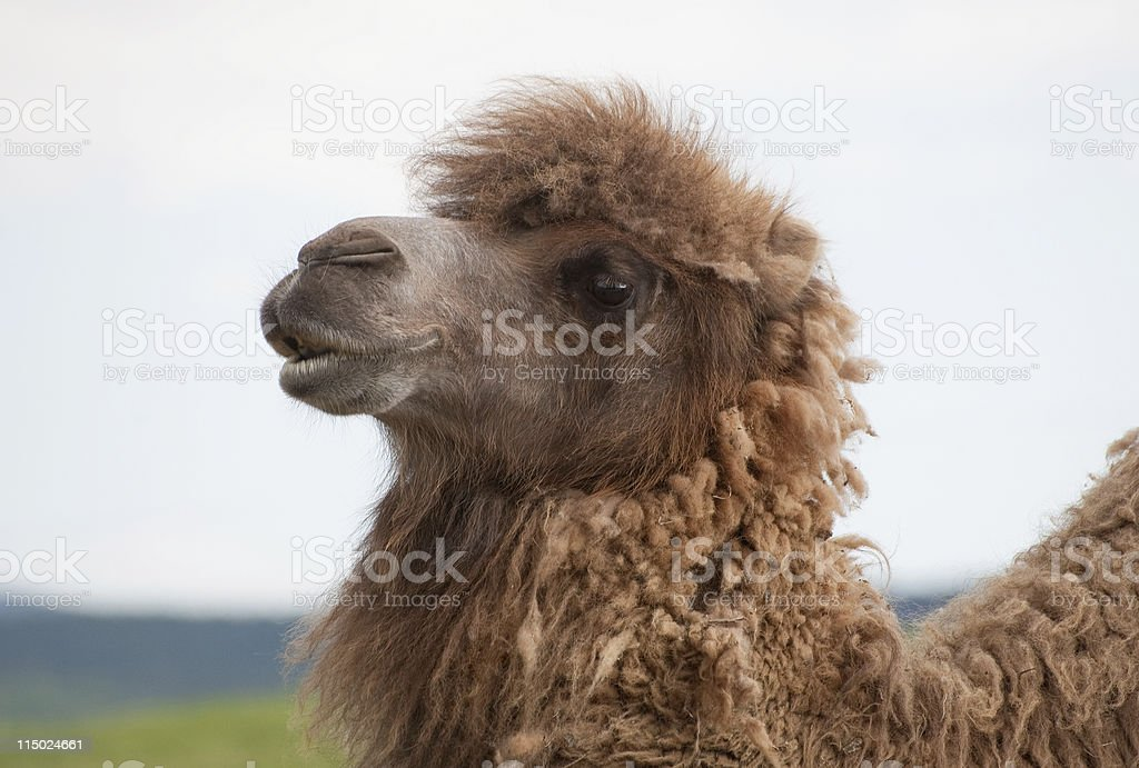 Bactrial camel profile close up royalty-free stock photo