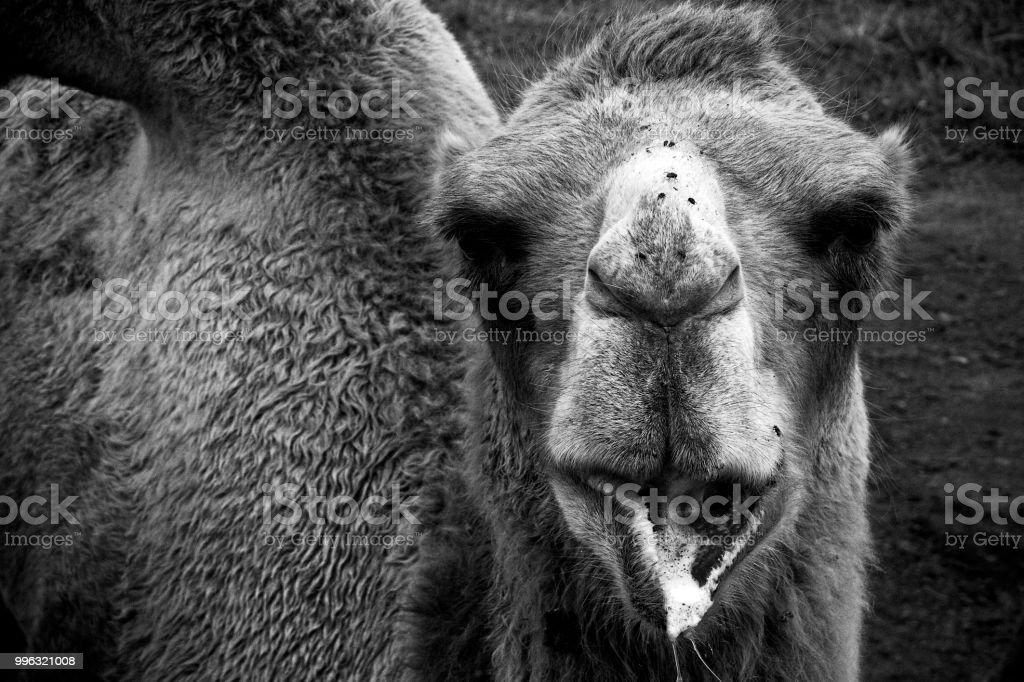 Bactrian Camel 2 stock photo