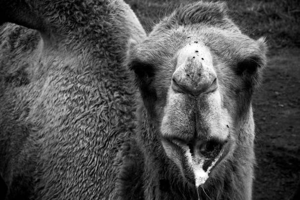Bactrian Camel 2 stock photo