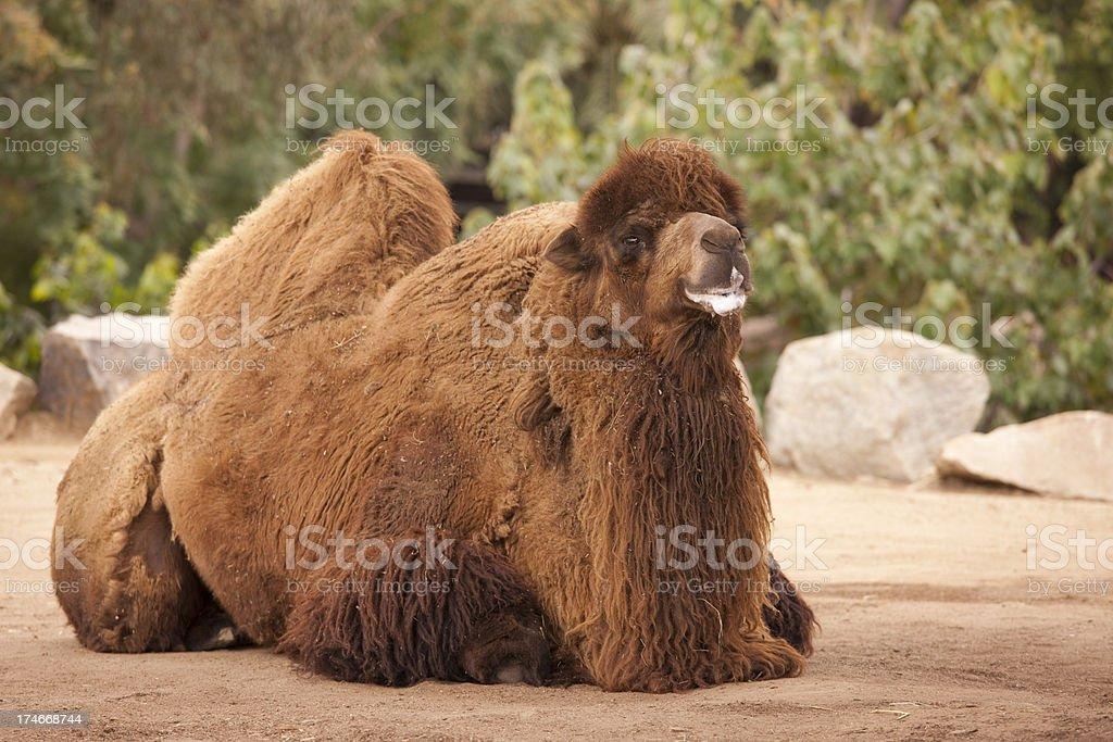 Bactrian Camel, Animal, Africa, Desert, Transportation, Beast of Burden royalty-free stock photo