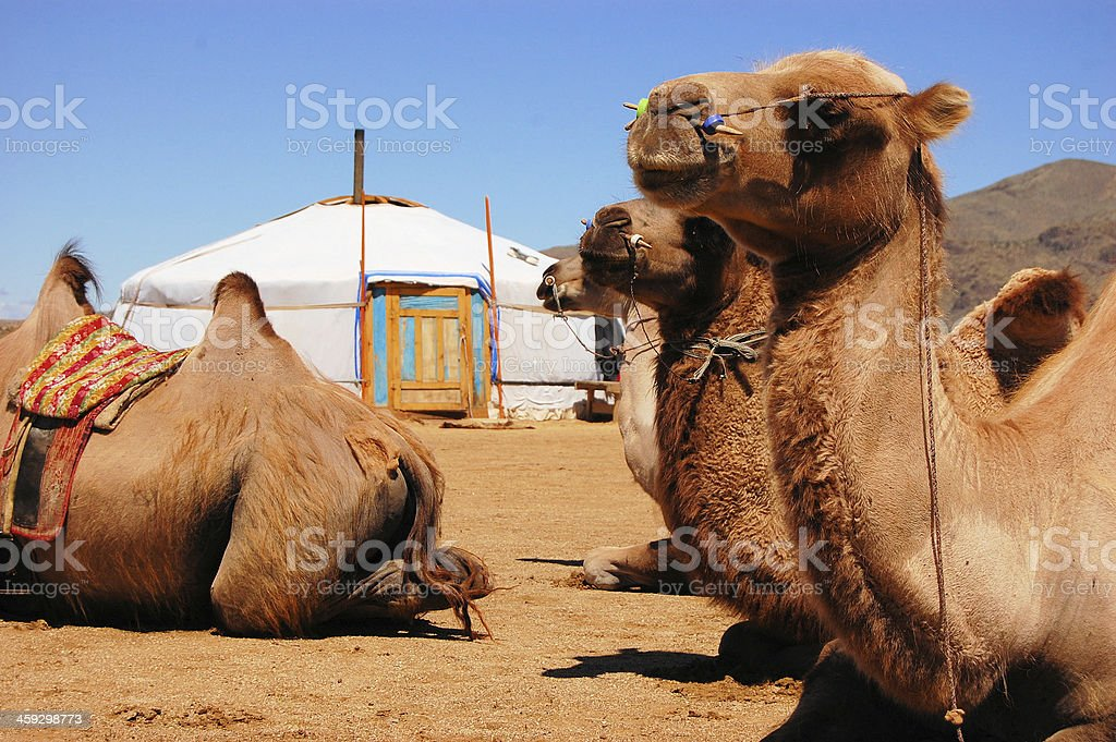 Bactrian camel at yurt, Gobi desert, Mongolia stock photo
