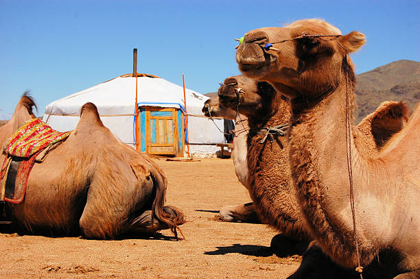 Bactrian camel at yurt, Gobi desert, Mongolia Camels sitting down in front of a yurt in the Mongolian Gobi desert independent mongolia stock pictures, royalty-free photos & images