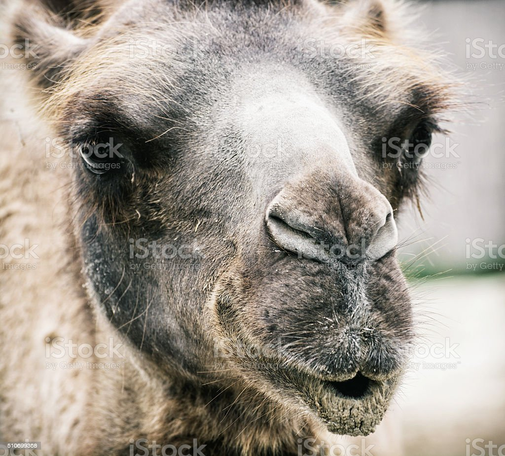 Bactrian camel - Camelus bactrianus - humorous closeup portrait stock photo