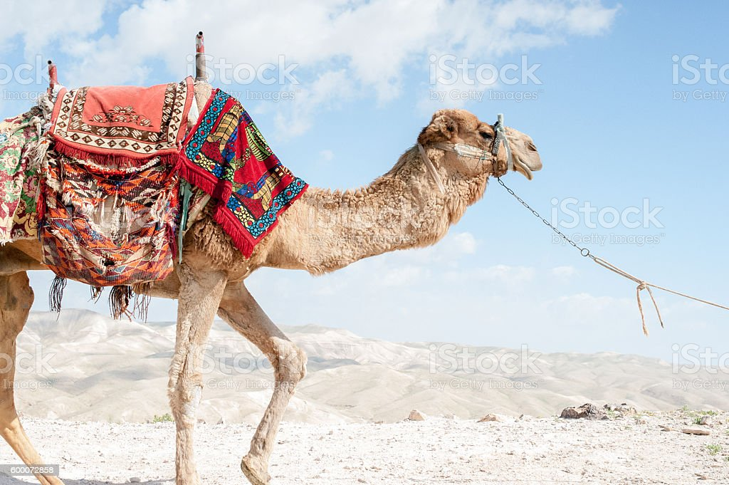 Bactrian camel goes stock photo