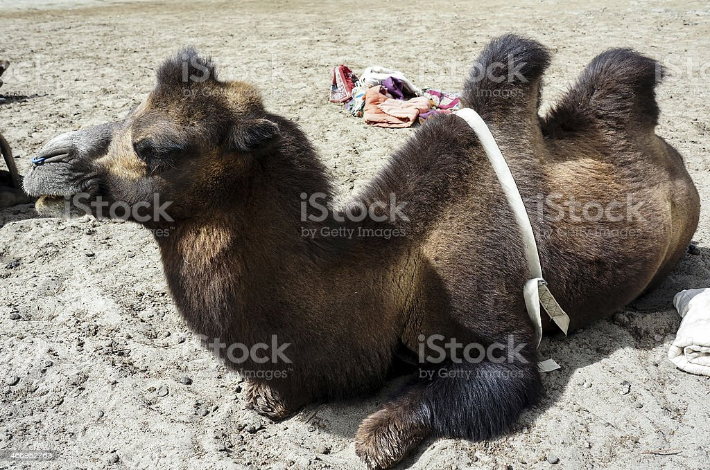 Bactrian camel in Nubra Valley royalty-free stock photo