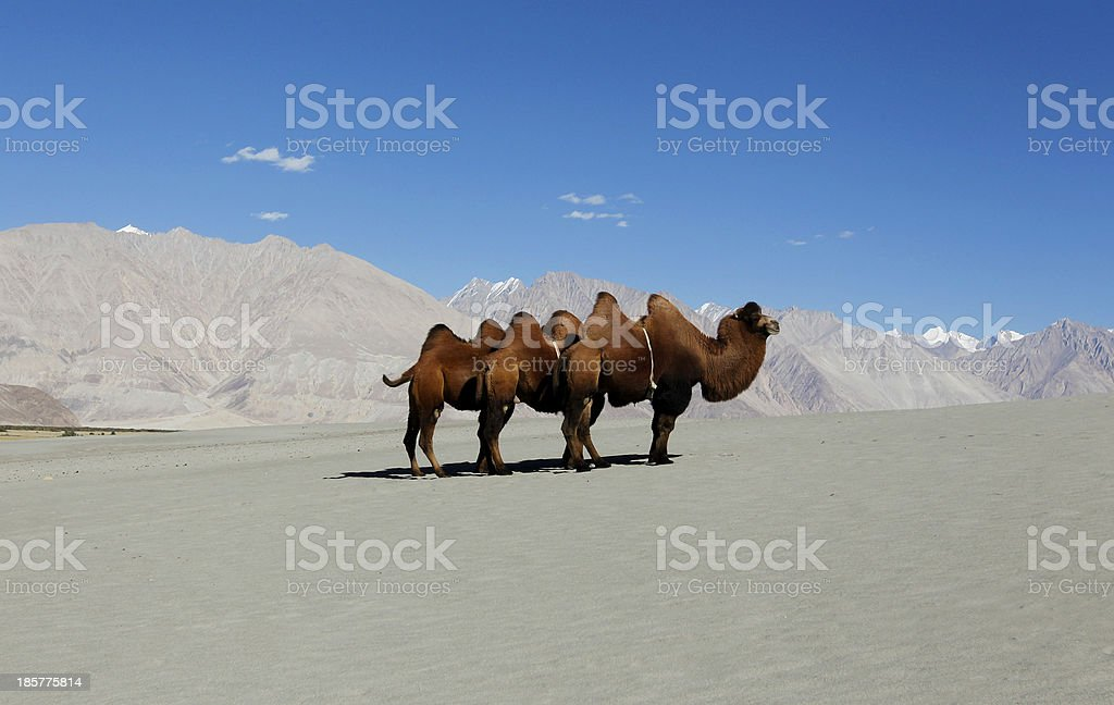 Bactrian Camel in sand dunes stock photo