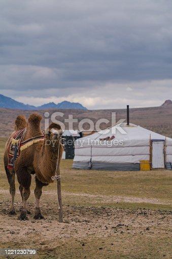 Bactrian camel in the Gobi Desert at sunset, Mongolia