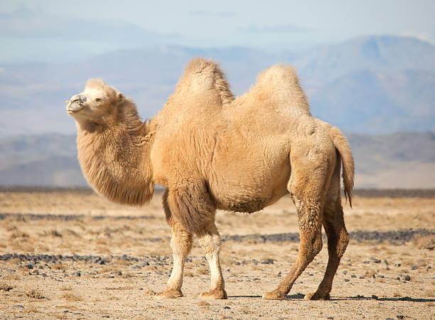 camello bactriano en el steppes de mongolia - camello fotografías e imágenes de stock