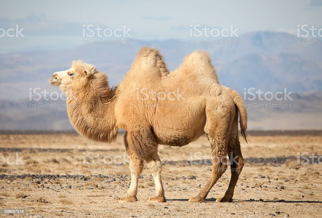 Bactrian camel in the steppes of Mongolia stock photo