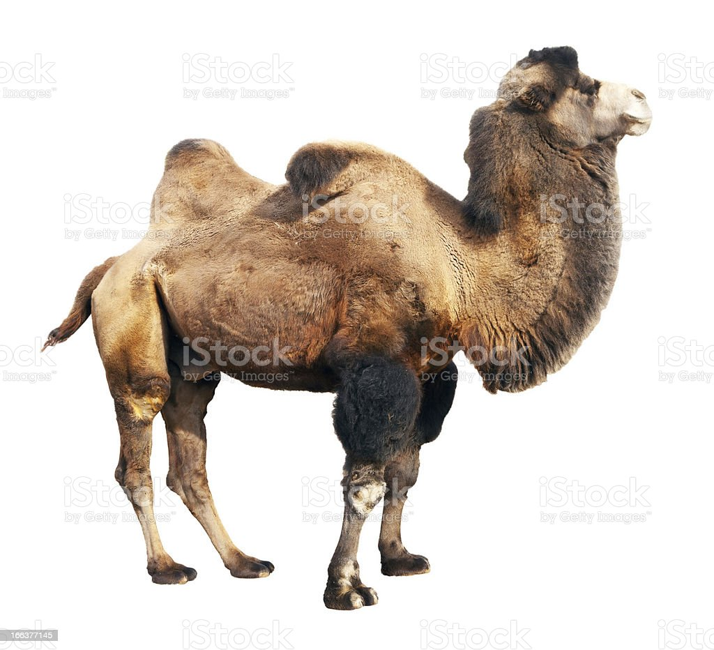bactrian camel  over white background stock photo