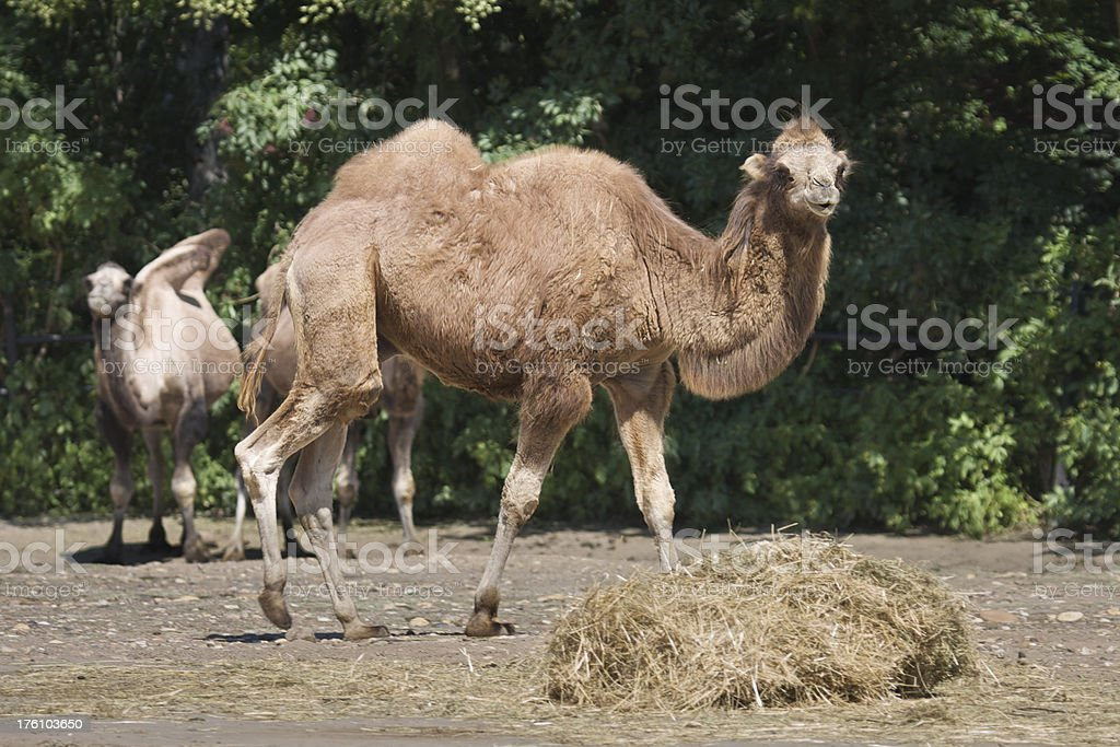"""Bactrian Camel """"Horizontal image of two-humped camel (Camelus bactrianus). Picture taken in the Prague Zoo, Czech Republic."""" Animal Stock Photo"""