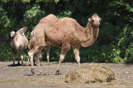 Bactrian Camel Stock Photo - Download Image Now
