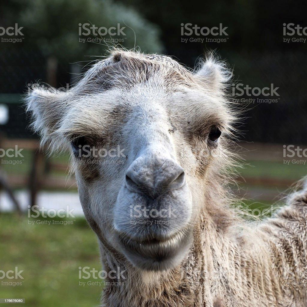 Bactrian Camel (camelus bactrianus) royalty-free stock photo