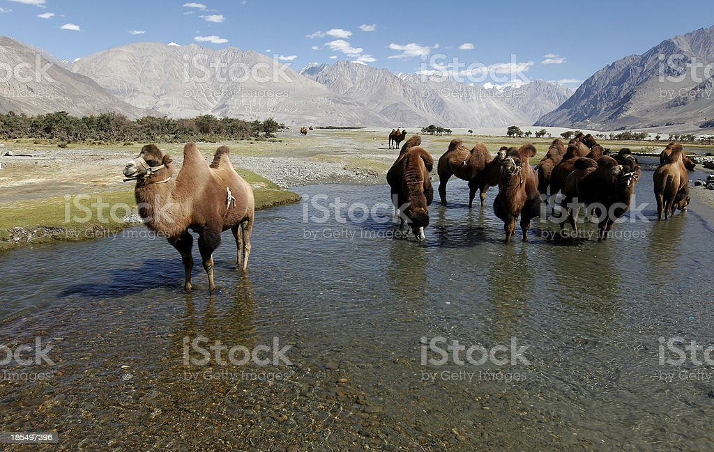 Bactrian Camel royalty-free stock photo