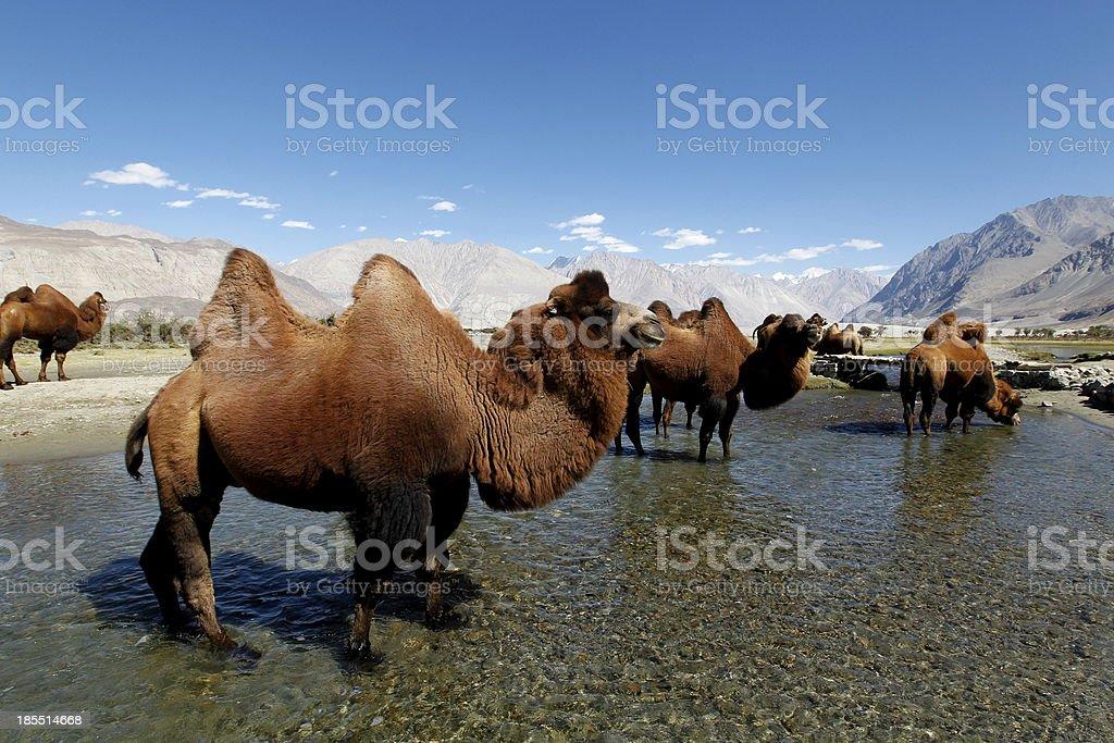 Bactrian Camel royalty-free stock photo