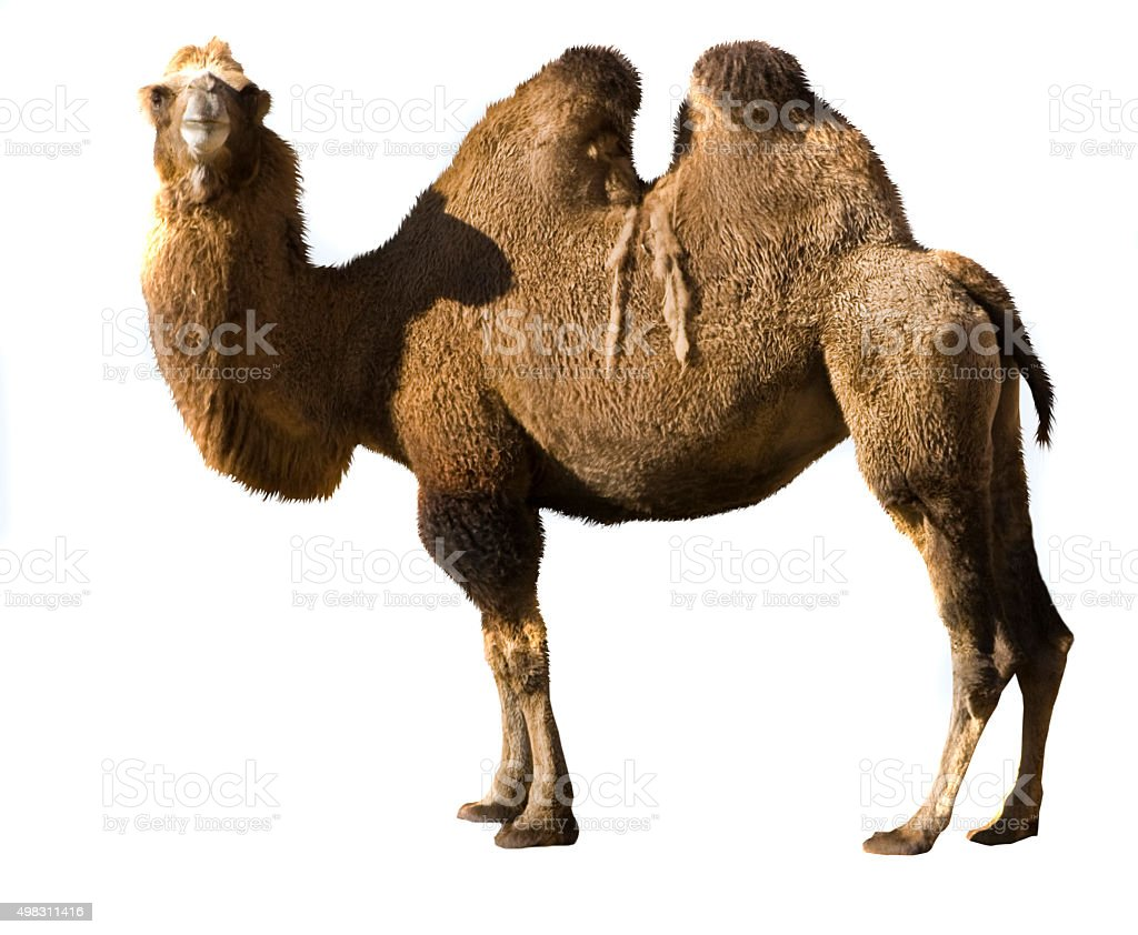 Bactrian camel stock photo