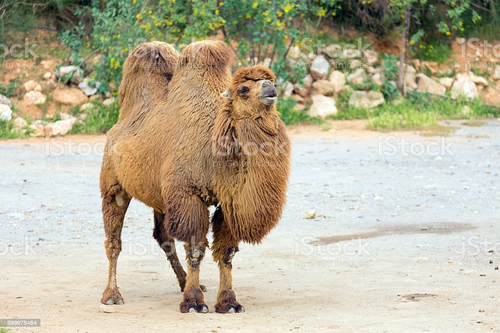 Bactrian camel (Camelus bactrianus) stock photo