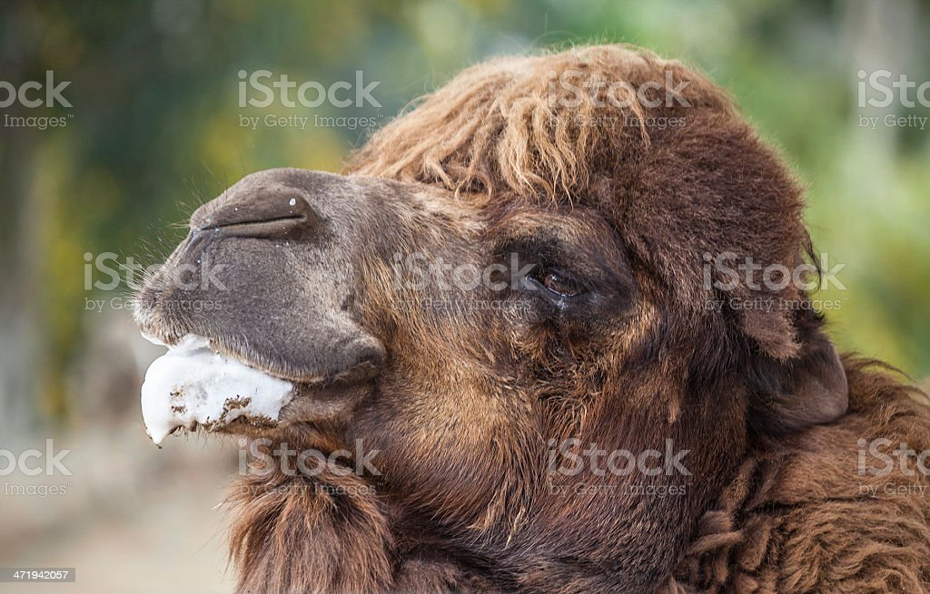 Bactrian Camel (Camelus bactrianus) portrait royalty-free stock photo