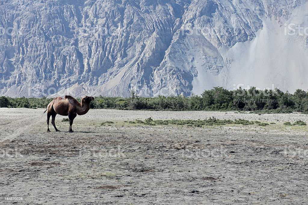 Bactrian Camel Walking in Desert Nubra Valley stock photo