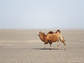 Bactrian camel walking in the desert or gobi in Northwest of China. True to transport a nomad.