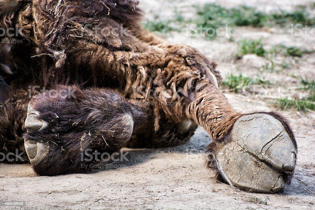 Bactrian camel's hoof detail (Camelus bactrianus), animal theme stock photo