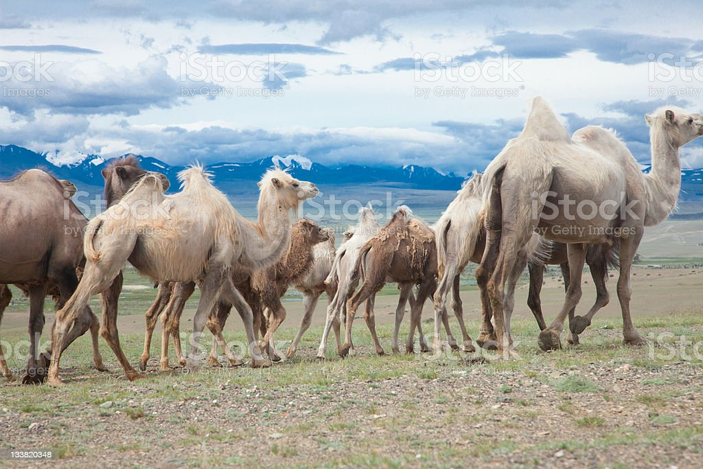 Bactrian camels royalty-free stock photo