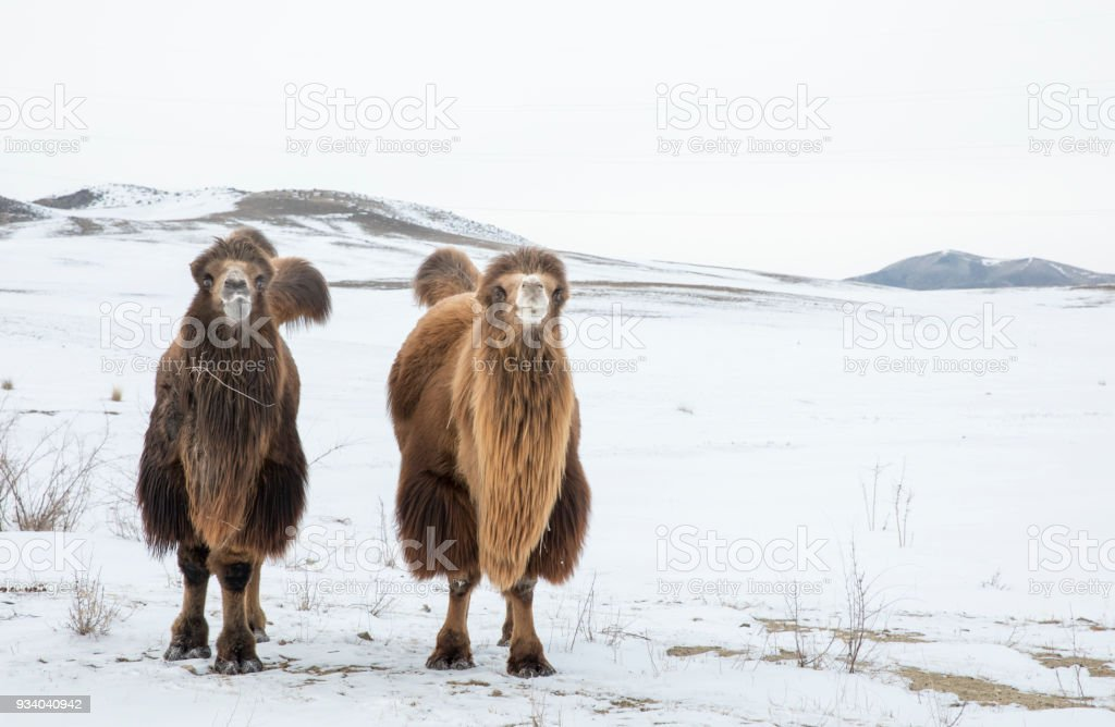 bactrian camels walking in a the winter landscape of Mongolia stock photo