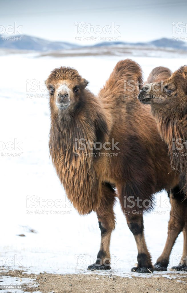 bactrian camels walking in a the winter landscape of northern Mongolia stock photo